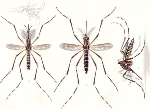 Aedes aegypti, the dengue mosquito.