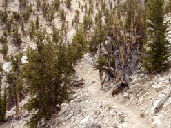 Oldest Tree In The World - Great Basin Bristlecone Pine