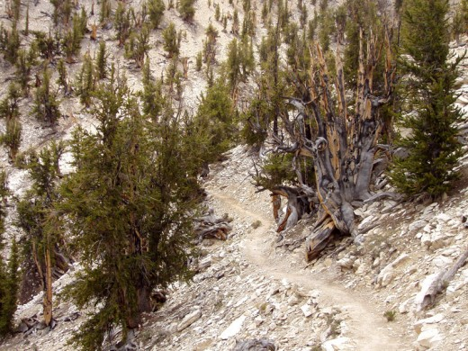 Although the exact location of Methuselah remains secret, it may be the bare and rotted tree to the right of this shot taken in Methuselah Grove.  It may not look like much   but when you're almost 5,000 years old you'll look rather haggard too