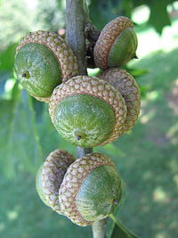 Did you know that a giant, sturdy oak tree grows from a single acorn, not unlike the giant redwood's tiny seeds?