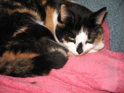 Molly is one of our female calico cats who we tend to keep outside. Unlike toby our siamese mix male cat; molly does not have problems with urinary tract complications. However we do still feed her the best foods, to prevent these problems.