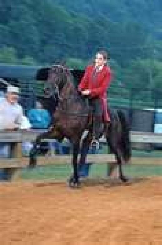 Tennessee Walking Horse doing a Running Walk