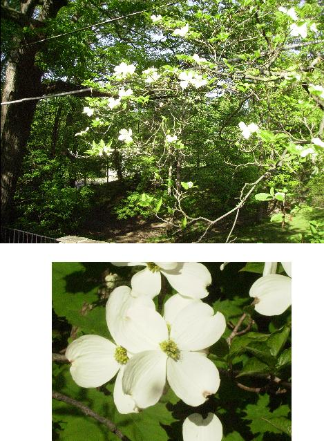 It was spring and the Dogwood was in bloom on the grounds of Warner Castle