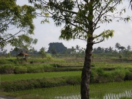 Ubud's beautiful countryside: rice paddies and tropical trees all in vibrant green; Bali, Indonesia.