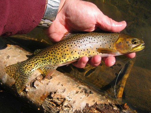Greenback Cutthroat Trout from Dream Lake in Rocky Mountain National Park, Colorado