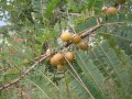 Benefits of The Vitamin C Storehouse - Amla And Amla Murabba
