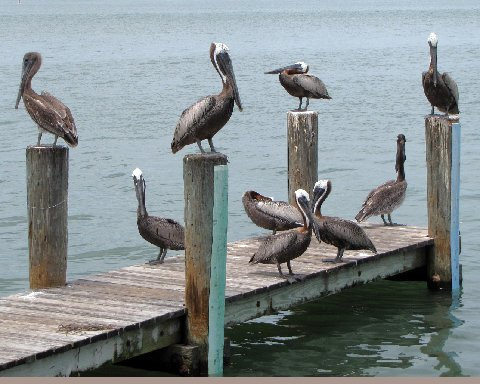 Pelicans at a Clearwater area dock.