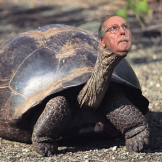 A male specimen of the Mitch McConnell Tortoise, the most endangered and erectile dysfunction-plagued tortoise on the planet.