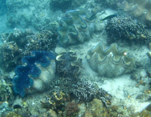 the big clams at Maxima while snorkelling