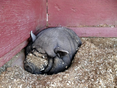 A pot bellied pig sleeps comfortable and does not seem to pay much mind to passers by