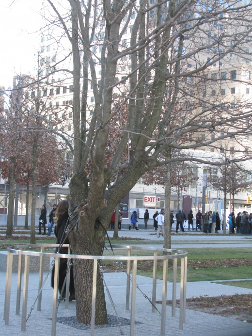 "The ""Survivor Tree"" - The Callery Pear"
