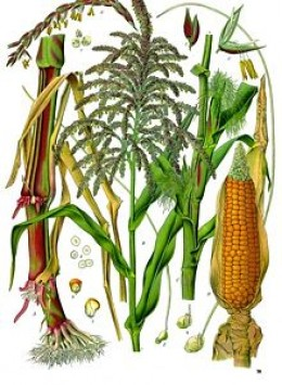 The amazing maize plant