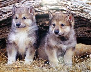 Baby Gray Pups
