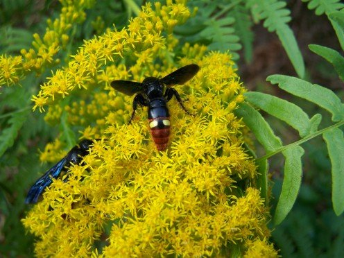 Goldenrod with Digger Wasp. Feed without the wasp.