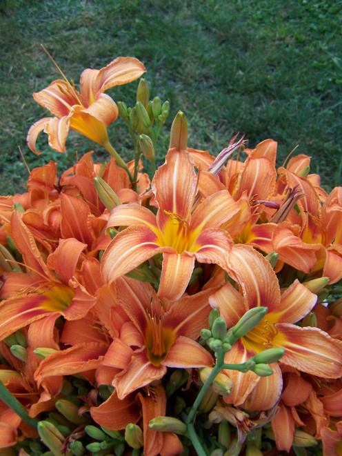 Use daylilies as herbal hay.