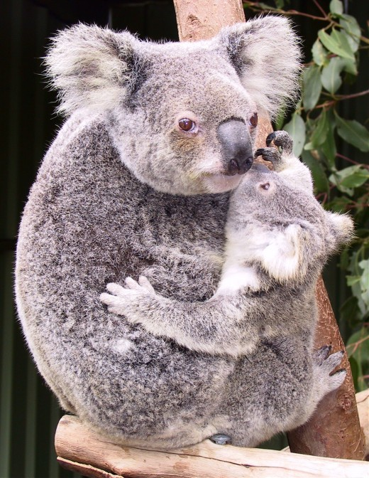 A mother Koala with her 'joey'