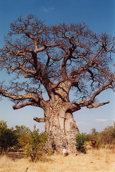 Baobab Tree (Adansonia digitata in Africa)