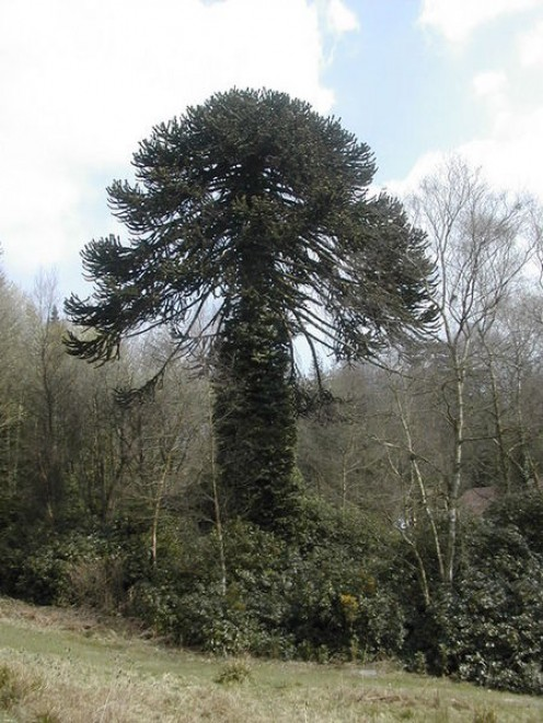 Monkey Puzzle Tree below the dam on the lake at Center Parcs