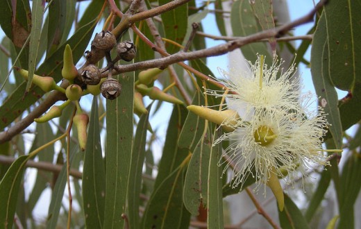 Eucalyptus, an iconic native Australian plant. But due to its drought hardiness it can become a major environmental weed overseas.