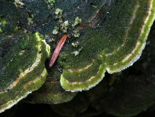 Green Shelf Fungus