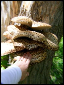 """Notice the size of this fungi compared to the lady's hand. A mature Dryad's Saddle can become quite large, 2-3/8 to 24"""" across."""