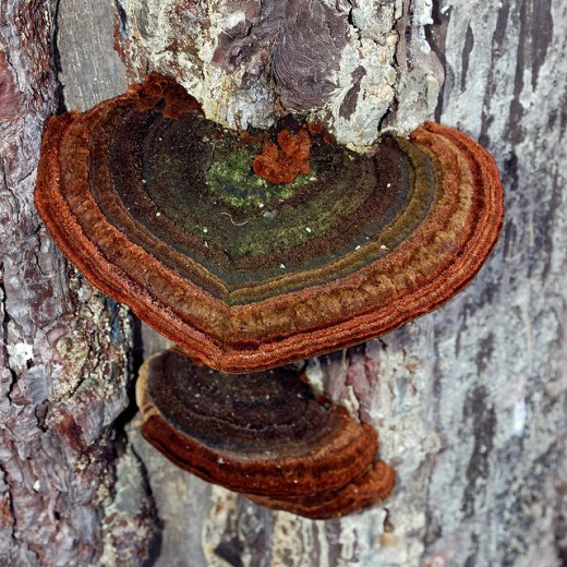 A gorgeous heart-shaped fungi.