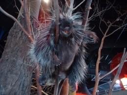 Ralph The Porcupine