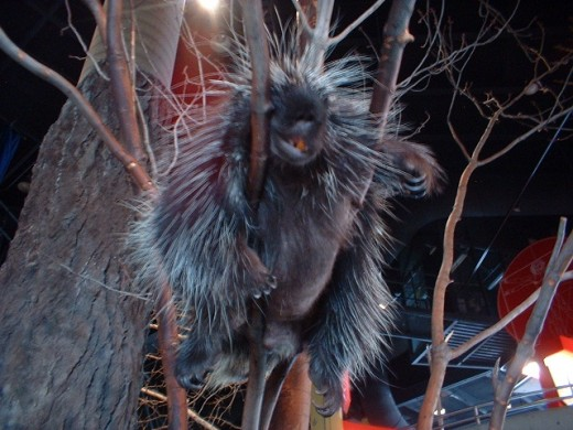 Ralph The Porcupine