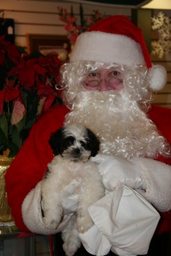 Cute Christmas Puppy Photos