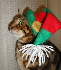 Cute Christmas Cat Photos