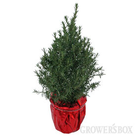 A potted tree to be used after Christmas season - an eco-friendly idea.
