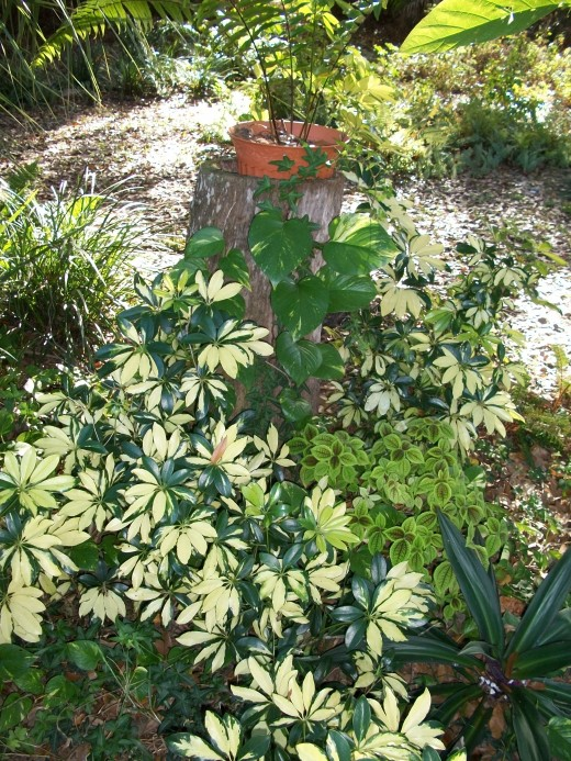 Variegated scheffelera bring a splash of color to the shade garden.
