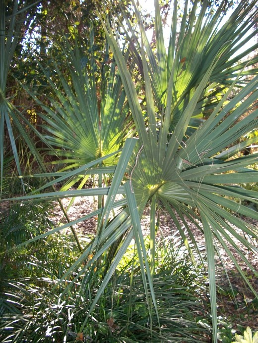 A silver palmetto. Palmettos thrive in sun or shade. Some people consider them a weed. Not me. Though be careful working around it; it has teeth.