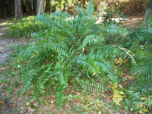 Macho fern -- aptly named. Big, beautiful, strong and invasive (which I like.)