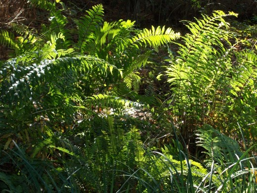 The macho ferns have invaded the forest floor of the vacant lot next to me. Beautiful. And by the way, they are a native of Florida, so no ecological damage is done.