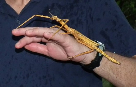 Giant stick insect in the Butterfly Park