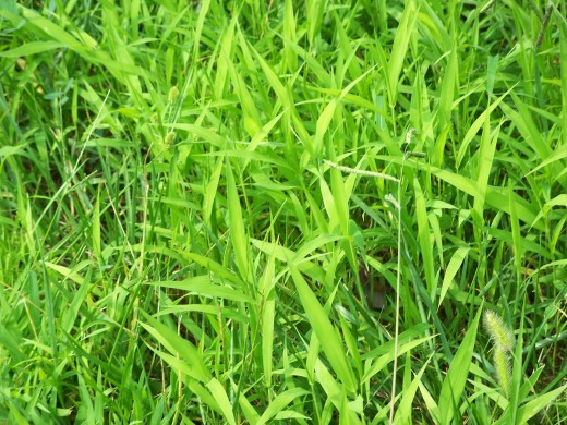 SICKLY GREEN GRASS-NOT DARK GREEN