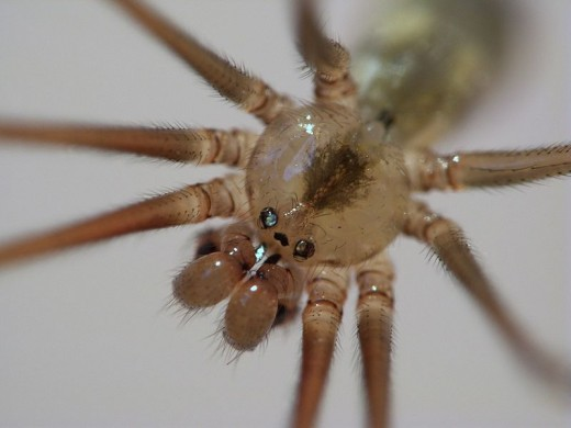 Head of a Cellar Spider