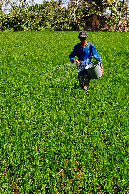 A farmer applying inorganic fertilizer to crop field.