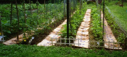 Paper mulch discourages weeds, contains moisture and provides a clean walking path.