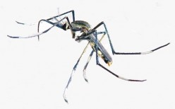 The Largest Mosquito In The World (Toxorhynchites speciosus) Is Harmless
