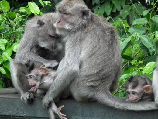 The monkeys in Monkey Forest