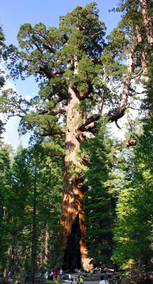 "Sequoiadendron giganteum ""The ""Grizzly Giant"" tree in Mariposa Grove, Yosemite National Park"""