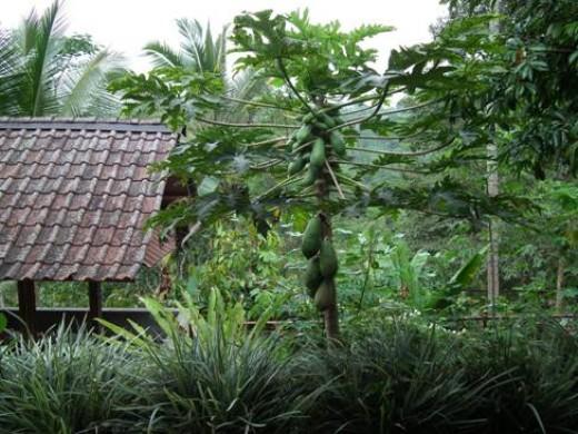 Oka Agra Wisata coffee plantation in Kintamani