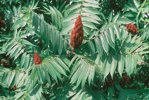 A Picture of Staghorn Sumac