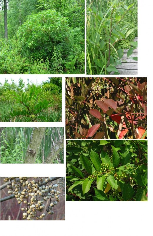 These are all pictures of Poison Sumac. Found in wetlands with smooth leaves that grow upward. The picture of the red leaves is the poison sumac in the fall. The white berries are what the poison produces.