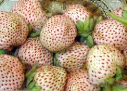 Frutilla Chilena