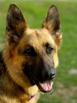 So You're Thinking  about  Getting a German Shepherd