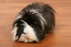 What Items Do You/I Need To Buy/Get for My New Guinea Pig? (What to put in the cage)