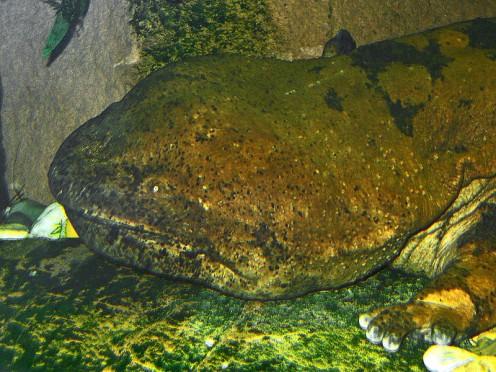 Giant Chinese Salamander